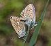 Polyommatus icarus qtl2.jpg