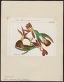 Polytmus edward - 1820-1860 - Print - Iconographia Zoologica - Special Collections University of Amsterdam - UBA01 IZ19100207.tif