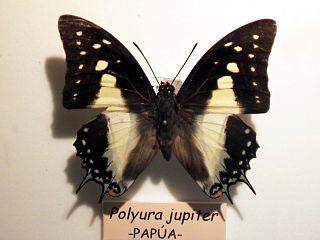 <i>Polyura jupiter</i> species of insect