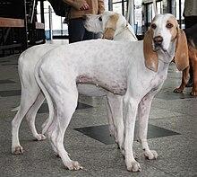 chien avec grande oreille