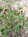 Porophyllum ruderale.jpg
