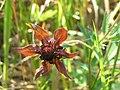 Potentilla palustris 2-eheep (5097953148).jpg