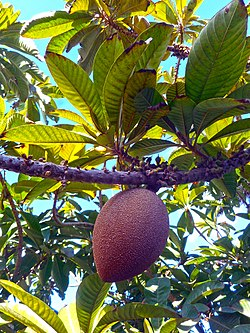 Pouteria sapota 01 fruit on branch.jpg