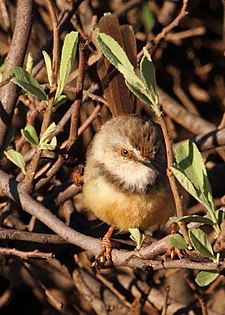 Prinia flavicans -Red Sands Game Reserve, Kuruman, Northern Cape, South Africa-8.jpg