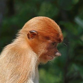 Proboscis monkey - Juvenile, Labuk Bay, Sabah, Borneo, Malaysia