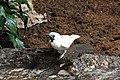 Procnias nudicollis -Barcelona Zoo, Barcelona, Catalonia, Spain-8a.jpg