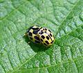 Propylea 14-punctata. Coccinellidae - Flickr - gailhampshire (1).jpg