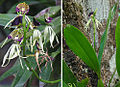 Prosthechea cochleata, the Clamshell Orchid (11023302476).jpg
