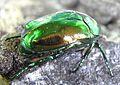 Protaetia aeruginosa back.jpg