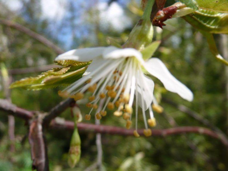 fleur de cerisier du tibet