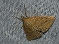 Psammotis pulveralis (40134712744).jpg