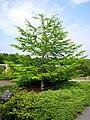 Pseudolarix amabilis - Tower Hill Botanic Garden.JPG