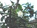 Psidium guajava flower.jpg