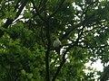 Psittacula krameri Richmond Park 3.JPG