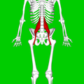 Psoas major muscle08.png