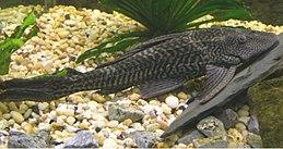 Pterygoplichthys pardalis 700