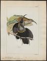 Ptilornis magnificus - 1820-1860 - Print - Iconographia Zoologica - Special Collections University of Amsterdam - UBA01 IZ16100057.tif