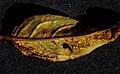Pucciniastrum epilobii-1.jpg