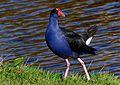 Pukeko (swamp hen); 2014.jpg