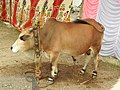 Punganur cattle-3-praba pet-salem-India.jpg