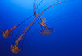 Purple-striped Jellyfish - Flickr - Joe Parks.jpg