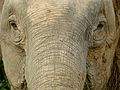 Pygmy Elephant (Elephas maximus borneensis) female (8074074101).jpg