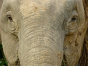 Borneo elephant - The close-up of face at Kinabatangan River, Sukau, Sabah, Malaysia