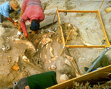 Four archeologists excavating a mammoth skeleton