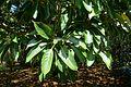 Quercus acuta - Caerhayes Castle gardens - Cornwall, England - DSC03088.jpg