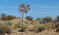 Quiver Tree (Aloe dichotoma) (6437062465).jpg