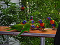 Rainbow Lorikeet (Trichoglossus moluccanus) Little Cove QLD.jpg
