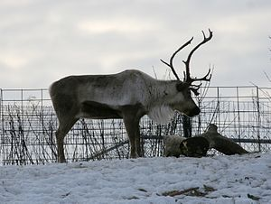 Burnet Park - Reindeer (Rangifer tarandus at Rosamond Gifford Zoo)