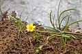 Ranunculus flammula kz03.jpg