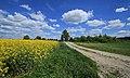 Rapsfeld in Sachsen 2H1A3345WI.jpg