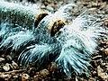 Rare seen caterpillar.jpg