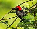 Red-headed Malimbe - Ankasa - Ghana S4E1452 (22432103808).jpg