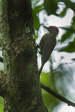 Red-rumped Woodpecker - Ecuador S4E7868 (16223083720).jpg