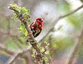 Red Avadavat (Amandava amandava) W IMG 0443.jpg