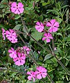 Red Campion - Silene dioica - geograph.org.uk - 171734.jpg