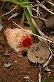 Red velvet mite Trombidiidae from kadapa Andhra Pradesh IMG 2423.jpg