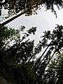 Redwoods (6157396769).jpg