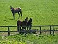 Rempstone Horses - geograph.org.uk - 1294401.jpg