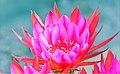 Retina Melting Echinopsis (104425193).jpeg