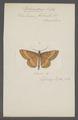 Rhamidava - Print - Iconographia Zoologica - Special Collections University of Amsterdam - UBAINV0274 059 07 0004.tif