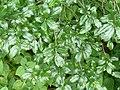 Rhamnus prinoides, loof, Walter Sisulu NBT.jpg