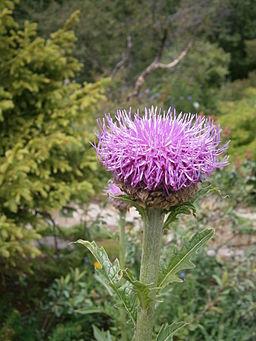 Rhaponticum carthamoides 002