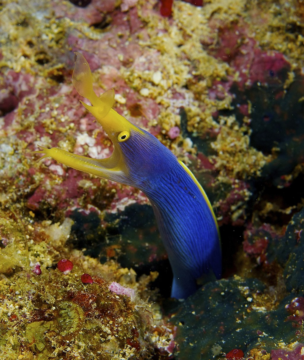 Rhinomuraena quaesita Ribbon Eel Fiji by Nick Hobgood