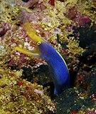 Rhinomuraena quaesita Ribbon Eel Fiji by Nick Hobgood.jpg