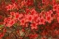 Rhododendron 'Picador' E-1 Flowers 1.JPG