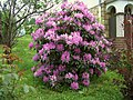 Rhododendron catawbiense a4.jpg